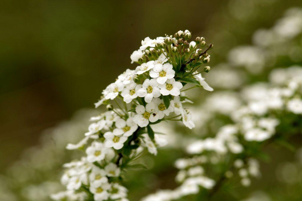 plantas para apartamento Alyssum branca flores decoração de interiores