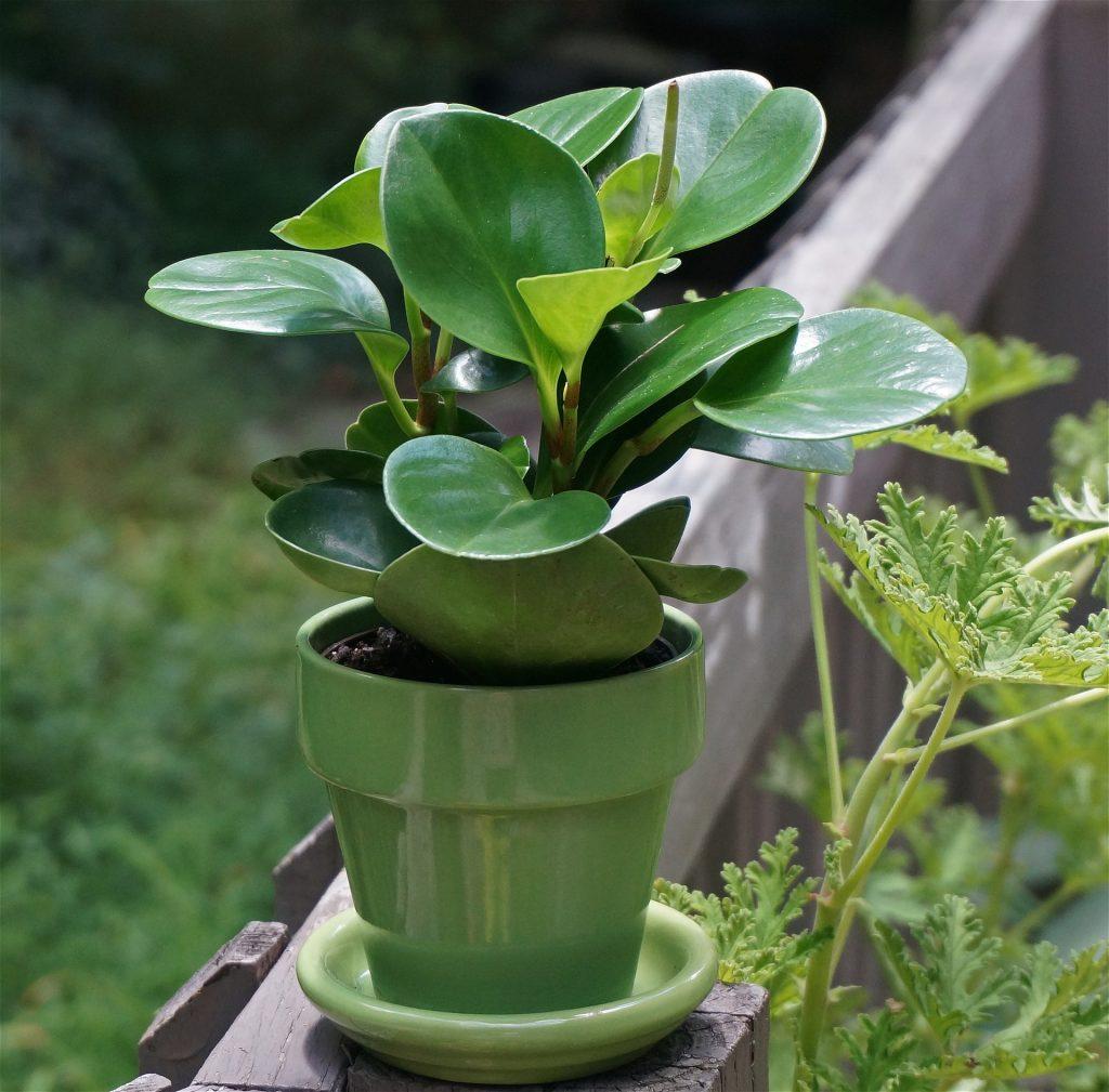 plantas para apartamento peperômia verde planta